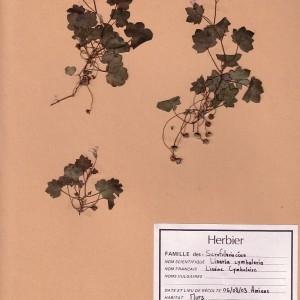 Photographie n°49095 du taxon Cymbalaria muralis G.Gaertn., B.Mey. & Scherb. [1800]