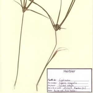 Photographie n°49097 du taxon Cyperus eragrostis Lam.