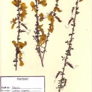 Photographie n°49101 du taxon Cytisus scoparius (L.) Link [1822]