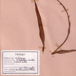 Photographie n°49103 du taxon Dactylorhiza fuchsii (Druce) Soó
