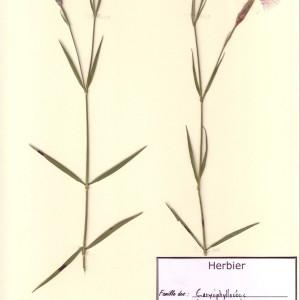 Photographie n°49114 du taxon Dianthus hyssopifolius L. [1755]