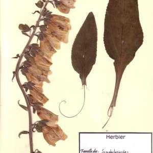 Photographie n°49119 du taxon Digitalis purpurea L.