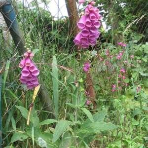 Photographie n°49120 du taxon Digitalis purpurea L.