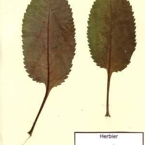 Photographie n°49123 du taxon Dipsacus pilosus L. [1753]