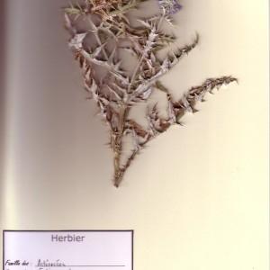 Photographie n°49128 du taxon Echinops ritro L. [1753]