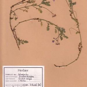 Photographie n°49153 du taxon Erodium moschatum (L.) L'Hér. [1789]