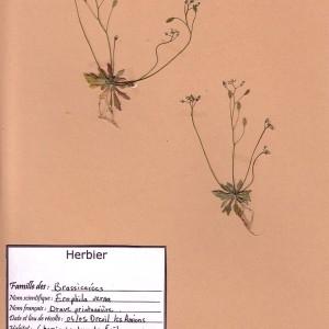 Photographie n°49154 du taxon Draba verna L. [1753]