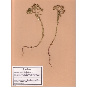 Euphorbia seguieriana Neck. subsp. seguieriana