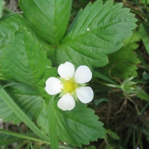 Photographie n°49188 du taxon Fragaria vesca L. [1753]