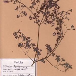 Photographie n°49196 du taxon Fumaria officinalis L. [1753]