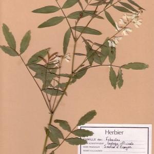 Photographie n°49202 du taxon Galega officinalis L. [1753]