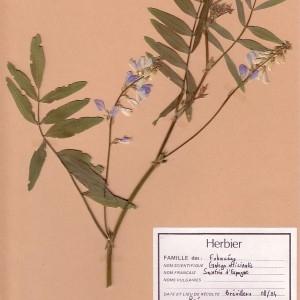 Photographie n°49203 du taxon Galega officinalis L. [1753]