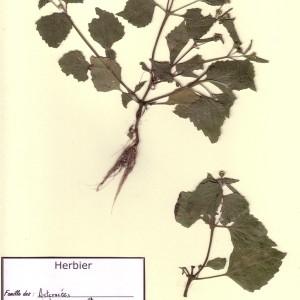 Photographie n°49204 du taxon Galinsoga quadriradiata Ruiz & Pav. [1798]