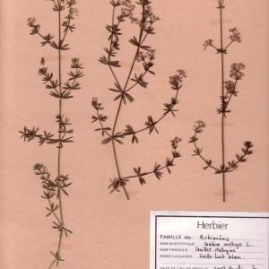 Photographie n°49206 du taxon Galium mollugo L.