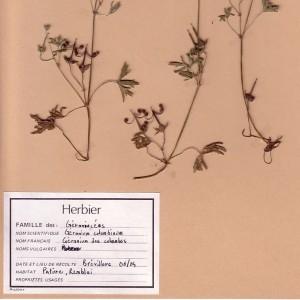 Photographie n°49216 du taxon Geranium columbinum L.