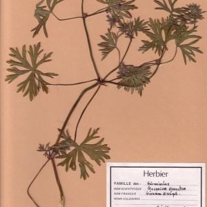 Photographie n°49217 du taxon Geranium dissectum L.