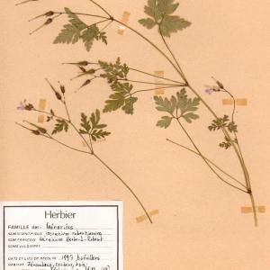 Photographie n°49223 du taxon Geranium robertianum L. [1753]