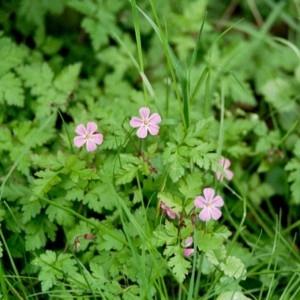 Photographie n°49224 du taxon Geranium robertianum L. [1753]