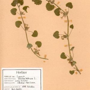 Photographie n°49234 du taxon Glechoma hederacea L. [1753]