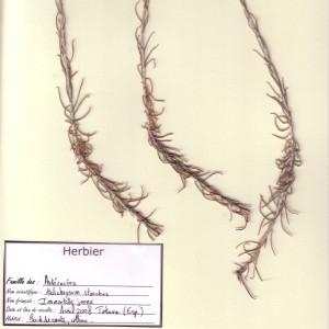 Photographie n°49249 du taxon Helichrysum stoechas (L.) Moench [1794]