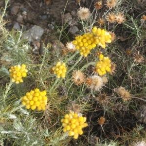 Photographie n°49250 du taxon Helichrysum stoechas (L.) Moench [1794]