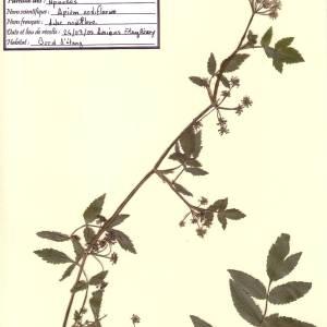 Photographie n°49253 du taxon Helosciadium nodiflorum (L.) W.D.J.Koch [1824]