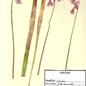 Photographie n°49265 du taxon Hyacinthoides non-scripta (L.) Chouard ex Rothm. [1944]