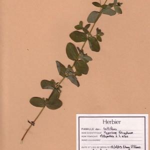 Photographie n°49272 du taxon Hypericum tetrapterum Fr.