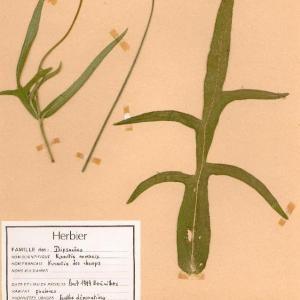 Photographie n°49289 du taxon Knautia arvensis (L.) Coult. [1828]