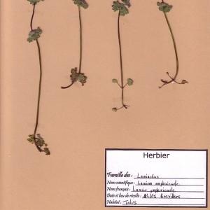 Photographie n°49293 du taxon Lamium amplexicaule L. [1753]