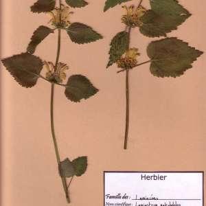 Photographie n°49294 du taxon Lamium galeobdolon (L.) L. [1759]