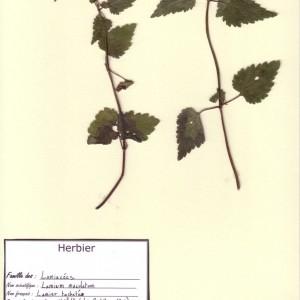 Photographie n°49297 du taxon Lamium maculatum (L.) L. [1763]