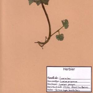 Photographie n°49298 du taxon Lamium purpureum L. [1753]