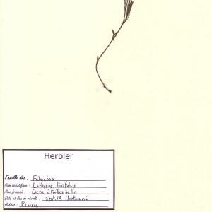 Photographie n°49302 du taxon Lathyrus linifolius (Reichard) Bässler [1971]