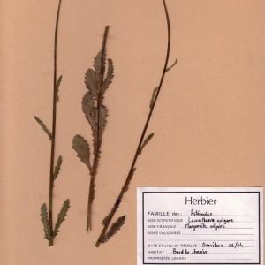 Photographie n°49318 du taxon Leucanthemum vulgare Lam. [1779]