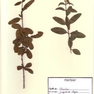 Photographie n°49321 du taxon Ligustrum vulgare L. [1753]