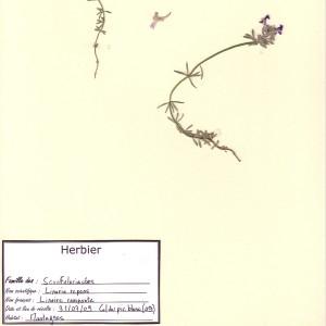 Photographie n°49323 du taxon Linaria repens (L.) Mill. [1768]