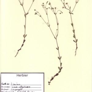 Photographie n°49328 du taxon Linum catharticum L. [1753]