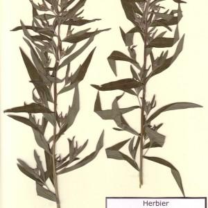 Photographie n°49333 du taxon Lithospermum officinale L. [1753]
