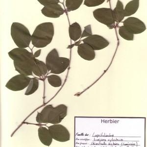 Photographie n°49340 du taxon Lonicera xylosteum L. [1753]