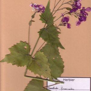 Photographie n°49346 du taxon Lunaria annua L.