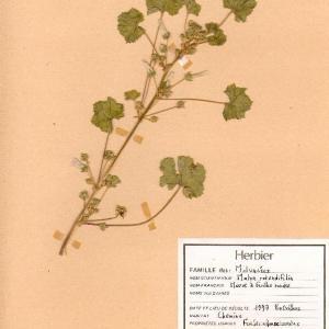 Photographie n°49356 du taxon Malva neglecta Wallr.