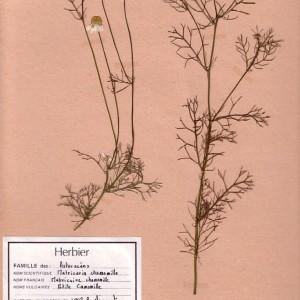 Photographie n°49358 du taxon Matricaria chamomilla L.