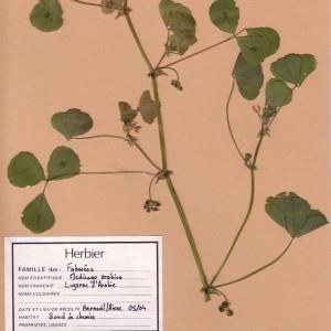 Photographie n°49360 du taxon Medicago arabica (L.) Huds. [1762]