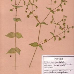 Photographie n°49378 du taxon Myosoton aquaticum (L.) Moench [1794]