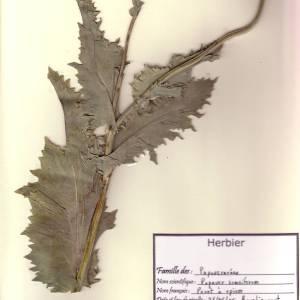 Photographie n°49397 du taxon Papaver somniferum L. [1753]