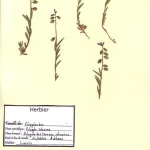 Photographie n°49413 du taxon Polygala calcarea F.W.Schultz [1837]