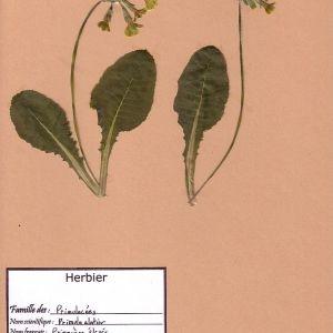 Photographie n°49423 du taxon Primula elatior (L.) Hill [1765]