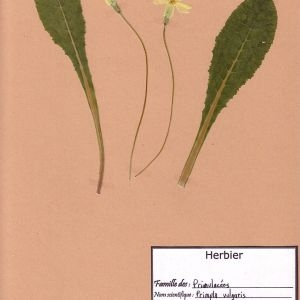 Photographie n°49426 du taxon Primula vulgaris Huds. [1762]