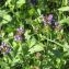 Laurent Petit - Prunella vulgaris L.